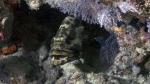 Epinephelus polyphekkadion CamouflageGrouper2 DMS