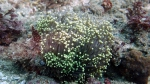 Euphyllia glabrescens DMS