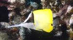 Forcipiger longirostris BigLongnoseButterflyfish1 DMS