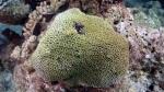 Galexea fascicularis BristleCoral DMS