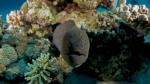 giant moray Gymnothorax javanicus4 DMS
