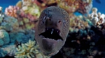 giant moray Gymnothorax javanicus6 DMS