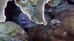 Gymnothorax favagineus LacedMoray1 DMS