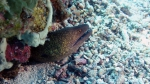Gymnothorax flavimarginatus YellowEdgedMoray DMS