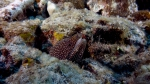 Gymnothorax melagris WhiteMouthMoray6 DMS