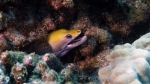 Gymnothorax rueppellii YellowheadMoray DMS