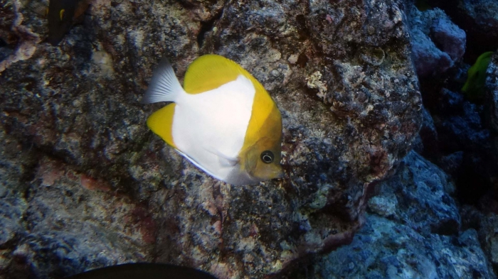 Hemitaurichthys polylepis PyramidButterflyfish1 DMS