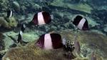 Hemitaurichthys zoster BlackPyramidButterflyfish DMS