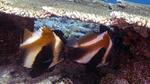 Heniochus pleurotaenia IndianOceanBannerfish DMS