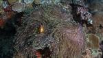 Heteractis magnifica MagnificentSeaAnemone2 DMS