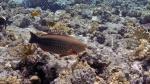 Hipposcarus harid Candelamoa parrotfish DMS