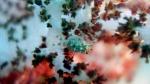 Hoplophrys oatesi CandyCrab DMS