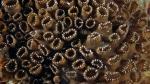 Palythoa tuberculosa DMS