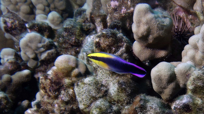 Labroides phthirophagus HawaiianCleanerWrasse DMS
