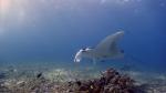 Manta alfredi ReefManta7 DMS