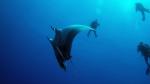 Manta birostris Giant manta ray3 DMS