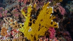 Millepora alcicornis Sea ginger DMS
