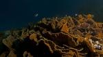 Mycedium elephantotus Elephant ear coral DMS