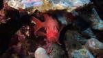 Myripristis berndti BigScaleSoldierfish DMS