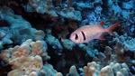 Myripristis kuntee PearlySoldierfish DMS