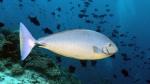 Naso hexacanthus SleekUnicornfish DMS