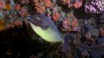 Naso hexacanthus SleekUnicornfish1 DMS