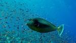 Naso unicornis Bluespine unicornfish DMS