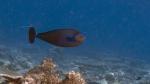 Naso vlamingii VlamingsUnicornfish2 DMS