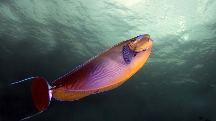 Naso vlamingii VlamingsUnicornfish3 DMS
