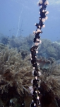 Nemanthus annamensis GorgonianWrapper1 DMS