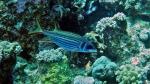 Neoniphon sammara Sammara squirrelfish DMS