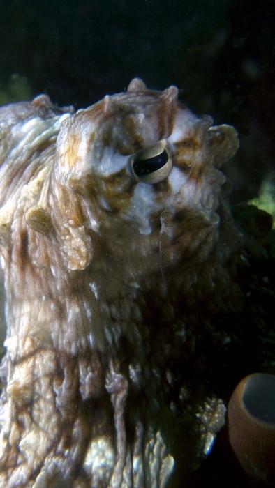 Octopus cyanea CommonOctopus DMS