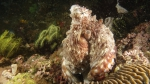 Octopus cyanea CommonOctopus1 DMS