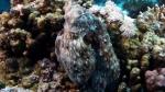 Octopus cyanea Reef octopus5 DMS