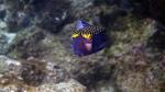 Ostracion meleagris SpottedBoxfish Male DMS