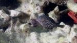 Ostracion meleagris SpottedBoxfish2 Female DMS