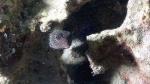 Ostracion meleagris SpottedBoxfish3 Female DMS