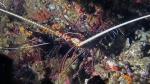 Panulirus versicolor PaintedSpinyLobster DMS