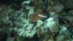 Paracirrhites arcatus ArcEyeHawkfish DMS