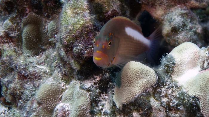 Paracirrhites arcatus ArcEyeHawkfish1 DMS