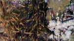 Parapriacanthus ransonneti Golden sweeper DMS