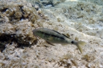 Parupeneus forsskali Red sea goatfish DMS