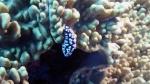Phyllidiella corraburrama Cooraburra phyllidiella DMS