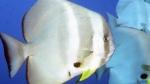 Platax orbicularis OrbicularBatfish DMS