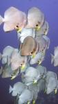 Platax orbicularis OrbicularBatfish1 DMS