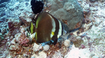 Platax pinnatus PinnateSpadefish DMS
