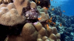 Platygyra lamellina Neat brain coral DMS