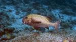 Plectorhinchus chaetodonoides HarlequinSweetlips DMS