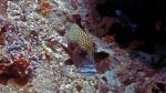 Plectorhinchus chaetodonoides HarlequinSweetlips1 DMS