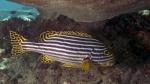 Plectorhinchus vittatus OrientalSweetlips DMS